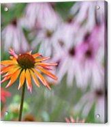 Echinacea Purpurea Orange Passion Flower Acrylic Print