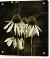 Echinacea Acrylic Print by Terrie Taylor