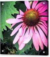 Echinacia Flower In The Rain Acrylic Print