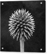 Echinops Monochrome Acrylic Print