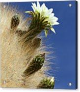 Echinopsis Atacamensis Cactus In Flower Acrylic Print