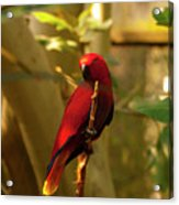 Eclectus Parrot Digital Oil Painting Acrylic Print