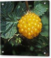 Edible Yellow Salmonberry Rubus Acrylic Print by Rich Reid