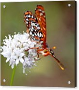 Edith's Checkerspot Five Acrylic Print