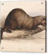 Edward Lear - A Weasel Acrylic Print