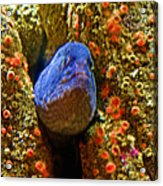 Eel In A Crack Between Two Anemone Worlds In Monterey Aquarium-california Acrylic Print