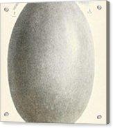 Egg Of Dinornis, Giant Moa, Cenozoic Acrylic Print