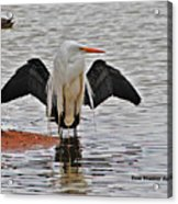 Egret And Cormorant Wings Acrylic Print