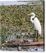 Egret And Turtles Acrylic Print