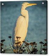 Egret At Dusk Acrylic Print