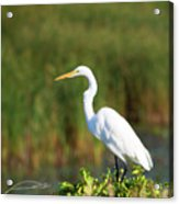 Egret At The River Acrylic Print