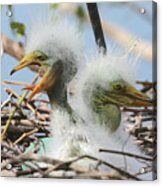 Egret Chicks In Nest With Egg Acrylic Print