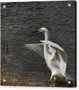Egret Dance Acrylic Print