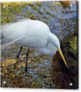Egret Fishing Acrylic Print