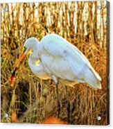 Egret Fishing In Sunset At Forsythe National Wildlife Refuge Acrylic Print