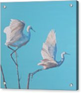 Egret Glide Acrylic Print