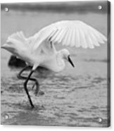 Egret Hunting In Black And White Acrylic Print