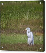 Egret In A Field, No. 1 Acrylic Print