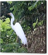 Egret In A Tree Acrylic Print