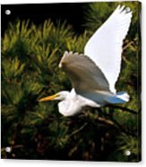 Egret In Flight 1 Acrylic Print