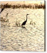 Egret In Sunset Water Acrylic Print