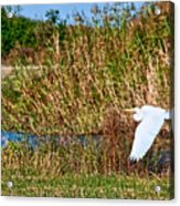 Egret In The Marsh Acrylic Print