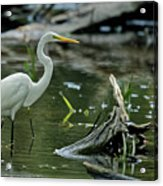 Egret In The Swamp Acrylic Print