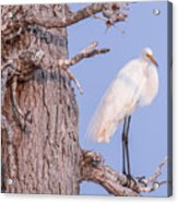 Egret In Tree Acrylic Print