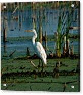 Egret Of The Marsh Acrylic Print
