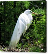 Egret On Guard Acrylic Print