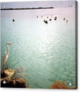Egret On Marathon Key Acrylic Print