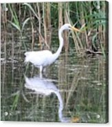 Egret On The Hunt Acrylic Print