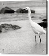 Egret Patrolling In Black And White Acrylic Print