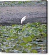 Egret Standing In Lake Acrylic Print