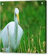 Egret Stare Down Acrylic Print