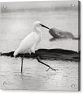 Egret Step In Black And White Acrylic Print