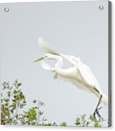 Egret-taking Flight Acrylic Print