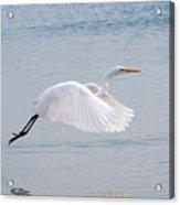 Egret Taking Off 1 Acrylic Print