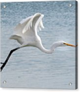 Egret Taking Off 2 Acrylic Print