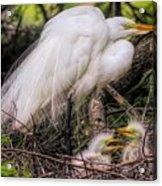 Egrets - 3362 Acrylic Print