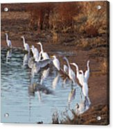 Egrets Gathering For Fishing Contest. Acrylic Print