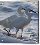 Egrets In The Shallows Acrylic Print