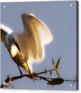 Egrets Landing Acrylic Print