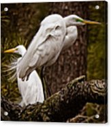 Egrets On A Branch Acrylic Print