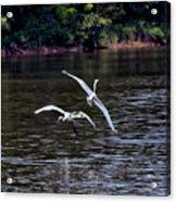 Egrets V Acrylic Print