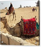 Egypt - Camel Getting Ready For The Ride Acrylic Print