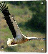 Egyptain Vulture In Flight  Acrylic Print