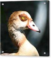 Egyptian Goose 2 Acrylic Print