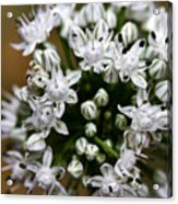 Egyptian Onion Acrylic Print