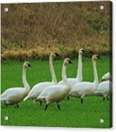 Eight Beautiful Swans Acrylic Print